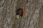 Piccola cinciallegra nel nido naturale dentro un albero