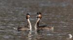Svasso maggiore (podiceps cristatus) - corteggiamento