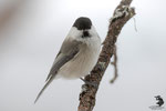 Cincia bigia alpestre (Poecile montanus)
