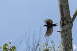 femmina - nel nido da pochi giorni son nati i piccoli, inizia la fase piu impegnativa, cercare e portare il cibo