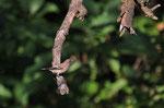 Balia nera femmina (Ficedula hypoleuca) è solo di passaggio dalle nostre parti, la sua meta è l'Africa dove andrà a svernare, la rivedremo da metà marzo e aprile stavolta le meta sarà il nord Europa per riprodursi.