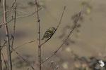 Lucherino (Spinus spinus) - femmina