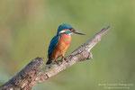 Martin pescatore maschio (Alcedo atthis)
