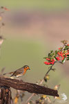 Pettirosso (Erithacus rubecola)
