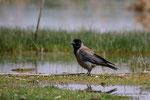 Cornacchia grigia (Corvus cornix)