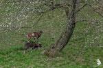 Muflone (Ovis aries musimon)