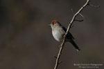 Capinera (Sylvia atricapilla) - femmina