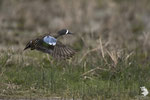 Alzavola Blue-winged Teal (Anas discors)