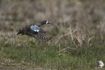 Alzavola Blue-winged Teal (Anas discors)