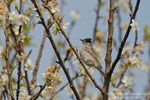 Capinera (Sylvia atricapilla) - maschio