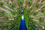 Pavone blu noto anche come pavone indiano (Pavo cristatus)