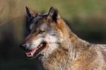 Naturwildpark Granat - Wolf