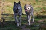 """Naturwildpark Granat - Wölfe """"Licht und Schatten"""""""