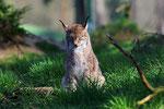 Naturwildpark Granat - Europäischer Luchs