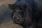 Naturwildpark Granat - Schwein