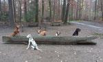 Agility Hunde beim Rudenspaziergang