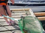 Krebse angeln - der Kescher gehört dazu