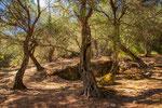 Olivenbäume No. 2