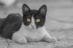 Greek Cats No.1