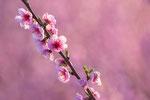 Pfirsichblüte No.1