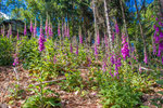 Fingerhut (Digitalis) im Pfälzerwald