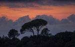 Schirmpinien Toskana