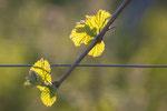 Reben im Frühjahr