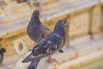 Tauben auf dem Campo in Siena Toskana