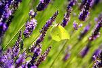 Lavendelfeld mit Zitronenfalter Ardeche