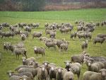 J'ai un certain magnétisme avec les ... moutons