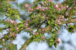 Farbenfrohe Apfelblüten