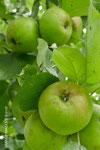 Noch unreife Äpfel - die werden mal lecker