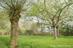 Kopfweide zwischen den Obstbäumen