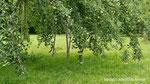 Die Last der Äpfel drückt die Zweige tief runter.