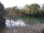 古新田川調整池にはカモがたくさん。