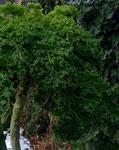 Grünkohl Ostfriesische Palme - hält bis -20°C aus