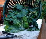 Ernte von Grünkohl und Markstammkohl