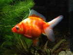 Ryukin-Goldfische