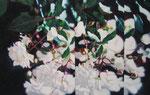 「白ばらのいざない」/ 72,7×115㎝ / アクリル、パネル /2007