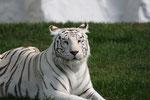 Sibirischer Tiger - Albimo