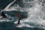 Delphinshow - abgetaucht
