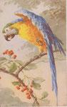 STZF 1278 [ara bleu et orange]