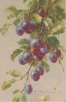 STZF 1291 [prunes bleues]