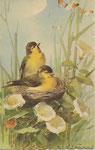 STZF 1228 [2 bruants jaunes au nid avec liserons]