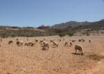 Die Schafe vor dem Haus