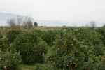 Viele Orangen hängen immer noch an den Bäumen