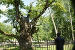 """....älteste Eiche Litauens, soll 1000 Jahre sein. Braucht aber rechte """" Krüken"""""""