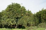 Nur ein kleiner Teil der Tausenden von Zitrusbäumen