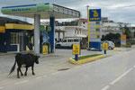 selbstständige Kühe mitten in der Stadt