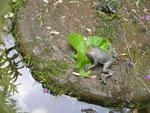 grenouille en bronze, dans un jardin de la Somme en Picardie